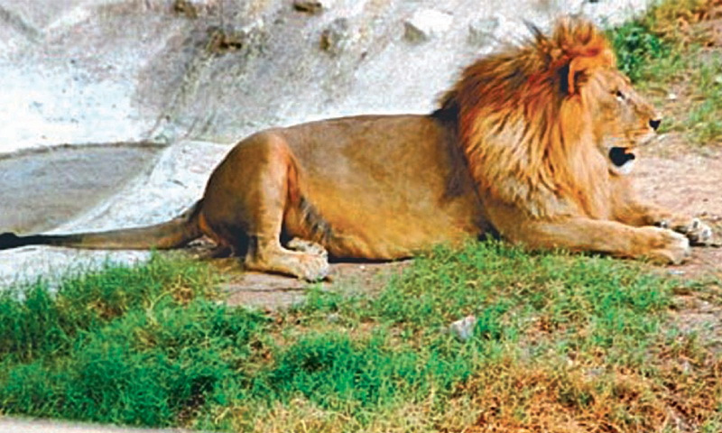 Lion resting in lahore zoo
