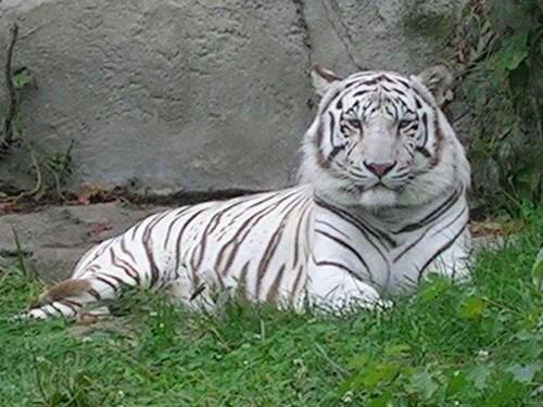 white tiger a new addition